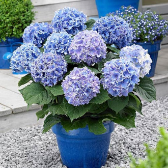 Hortensia macrophylla Blue imagine 1