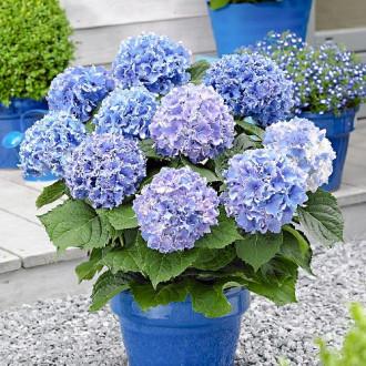 Hortensia macrophylla Blue imagine 5