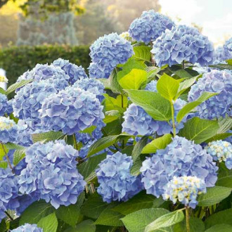 Hortensia macrophylla Blue Bodensee