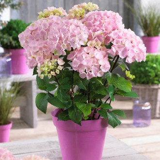 Hortensia macrophylla Pink imagine 2