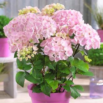 Hortensia macrophylla Pink imagine 6