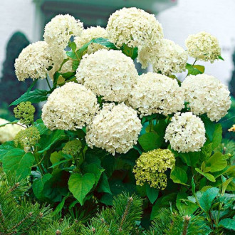 Hortensia macrophylla White imagine 3