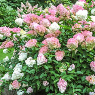 Hortensia paniculată Pink Lady imagine 6
