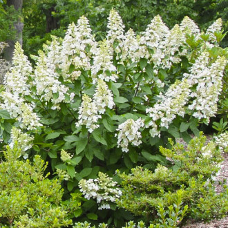 Hortensia paniculată Grandiflora imagine 5