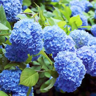 Hortensia macrophylla Nikko Blue imagine 7