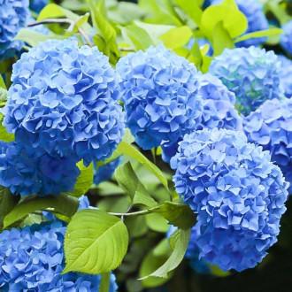 Hortensia macrophylla Nikko Blue imagine 8