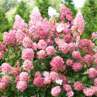 Hortensia paniculată Pink Diamond imagine 5