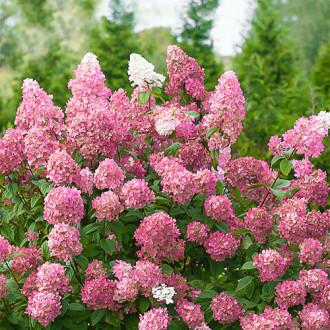 Hortensia paniculată Pink Diamond imagine 1