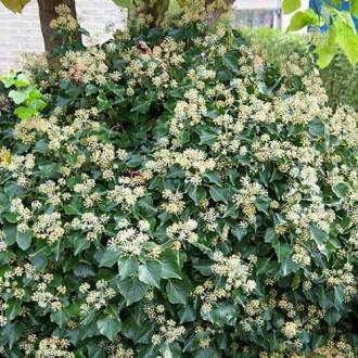 Iederă Arborescens