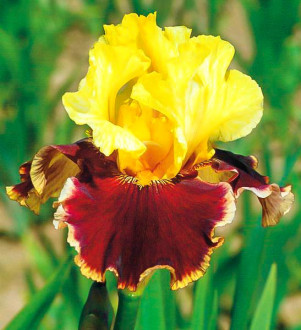 Iris All That Jazz