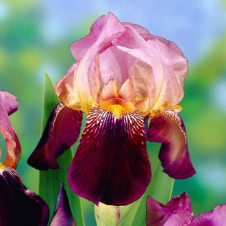 Iris germanica (Stânjenel) Ambassadeur