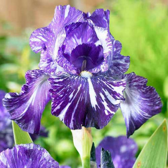 Iris germanica (Stânjenel) Batik