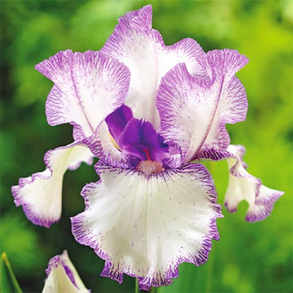 Iris germanica (Stânjenel) Blue Staccato imagine 8