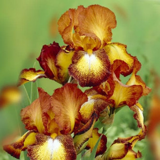 Iris germanica (Stânjenel) Spotted Yellow