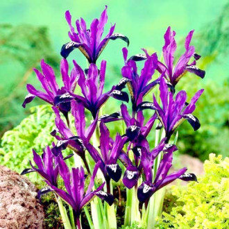 Iris Purple Gem imagine 2