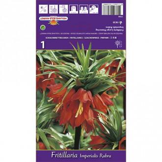 Lalea imperială (Fritillaria) Rubra imagine 4
