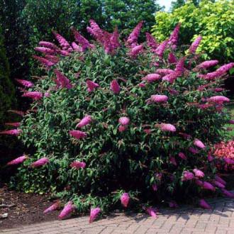Liliac de vară Border Beauty