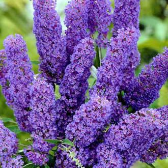 Liliac de vară Papillon Bleu imagine 5