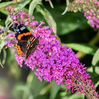Liliac de vară Purple Prince imagine 3