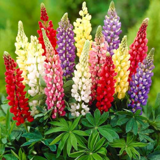 Lupin, mix multicolor