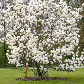 Magnolia Alba Superba imagine 2