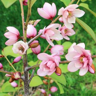 Magnolia Fairy Magnolia Blush