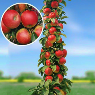 Măr columnar Arbat imagine 1