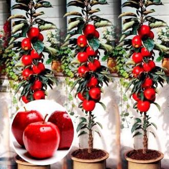 Măr columnar Red River