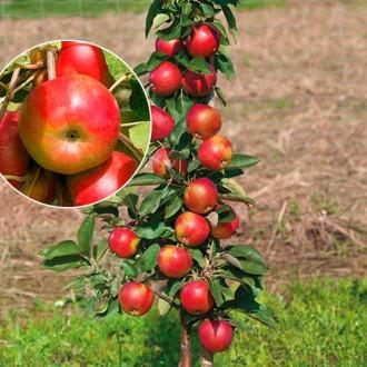 Măr columnar Vesna imagine 4