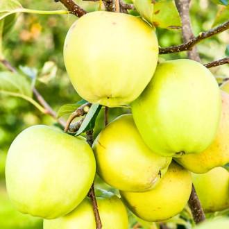 Măr Golden Delicios imagine 3