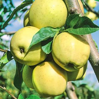Măr Golden Super imagine 8