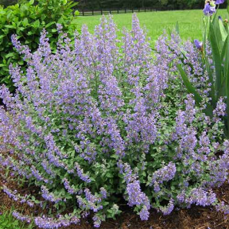 Menta pisicii (Nepeta faassenii) Walker's Low imagine 1
