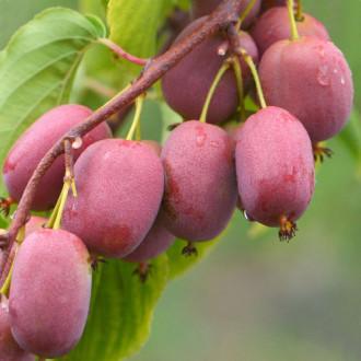 Mini kiwi Purpurna Sadowa imagine 5
