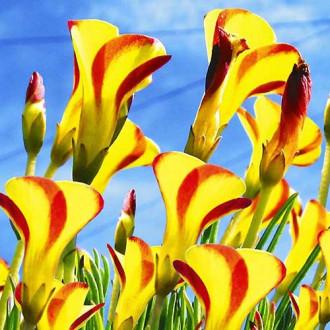 Oxalis Golden Cape imagine 1