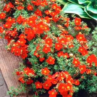 Potentilla fruticosa Red Ace imagine 1
