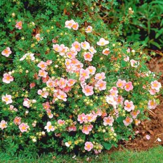 Potentilla Pretty Polly imagine 6