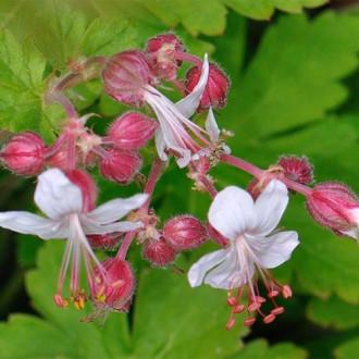 Priboi (Geranium macrorrhizum) Spessart imagine 5