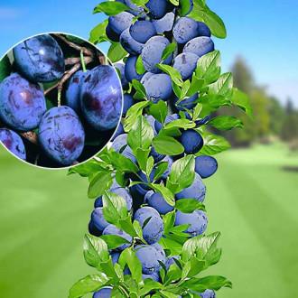 Prun columnar Sweet Blue imagine 6