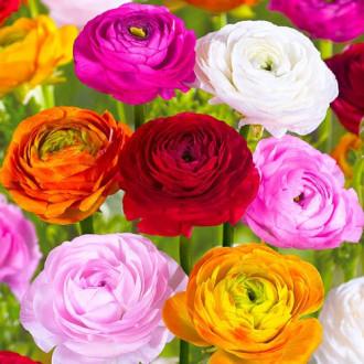 Ranunculus mix multicolor imagine 3