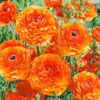 Ranunculus Orange imagine 4
