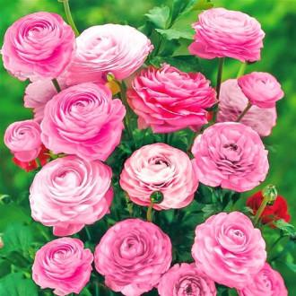 Ranunculus Pink imagine 5