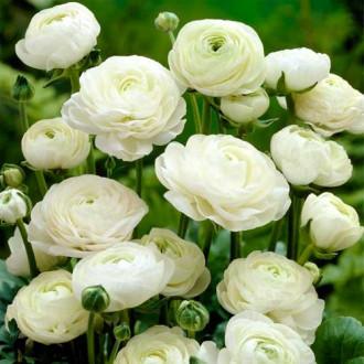 Ranunculus White imagine 7