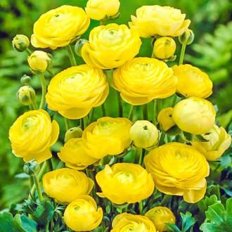 Ranunculus Yellow imagine 8