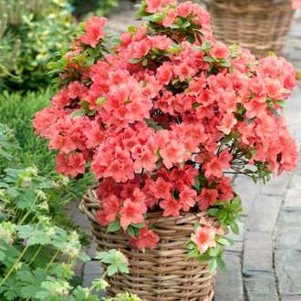 Rhododendron Brilliant