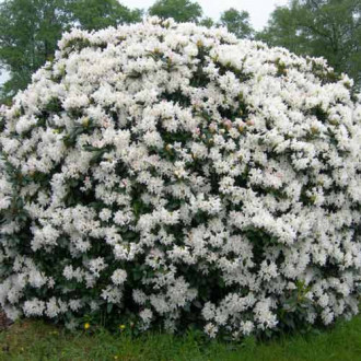 Rhododendron Cunningham White imagine 2