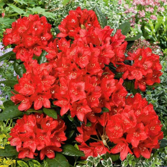 Rhododendron Red Jack imagine 6