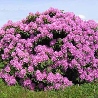 Rhododendron Roseum Elegans imagine 3