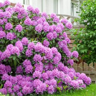 Rhododendron Roseum Elegans imagine 3