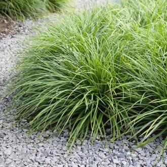 Rogoz (Carex) Irish Green imagine 2