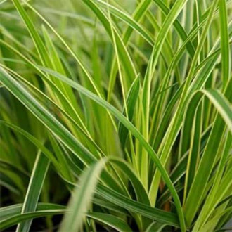 Rogoz (Carex) Variegata imagine 1